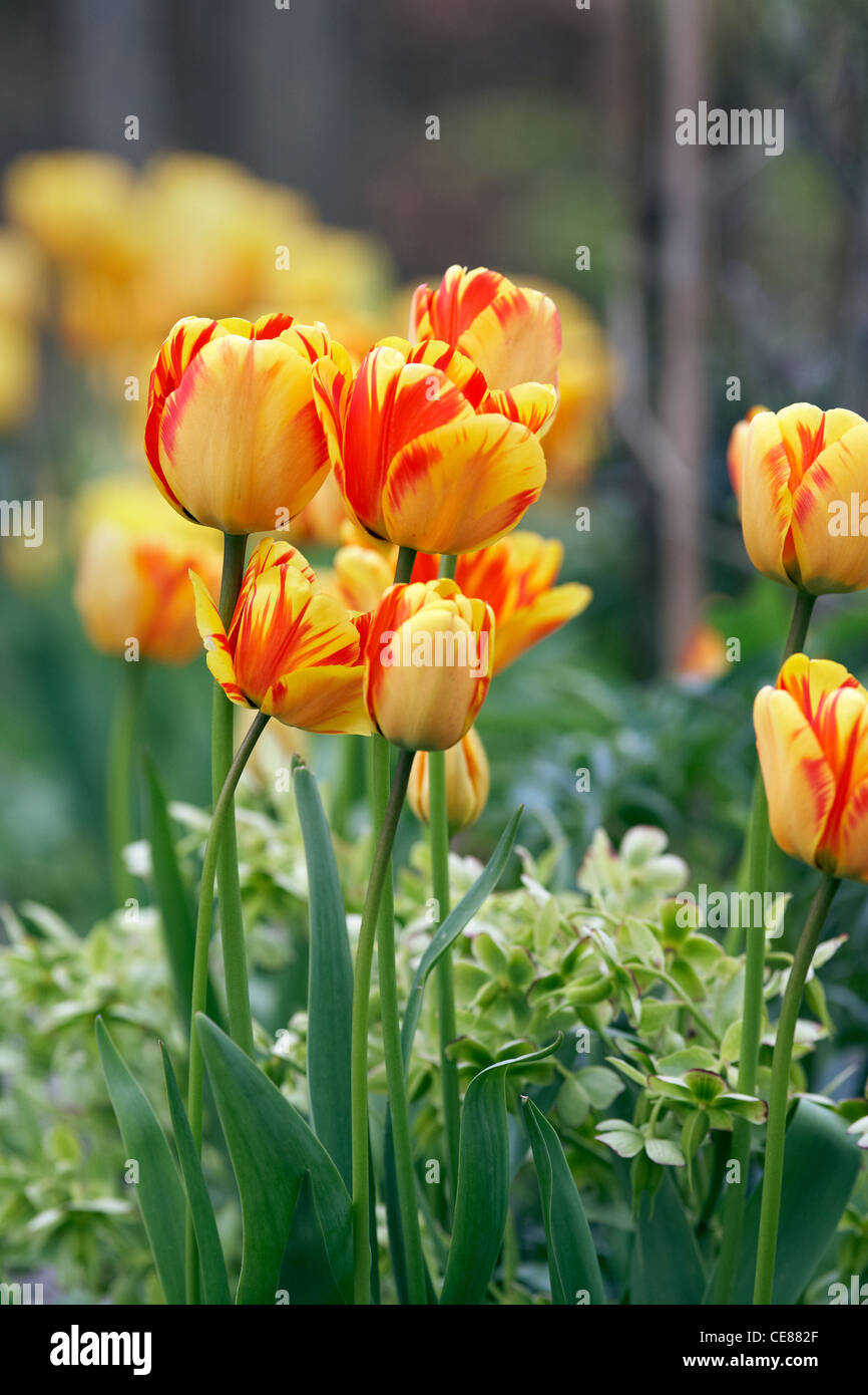 Tulips in an English garden - Stock Image