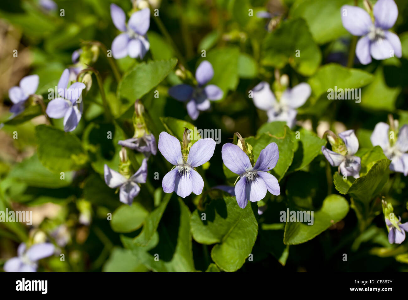 purple small flowers ( Viola odorata) on meadow - Stock Image