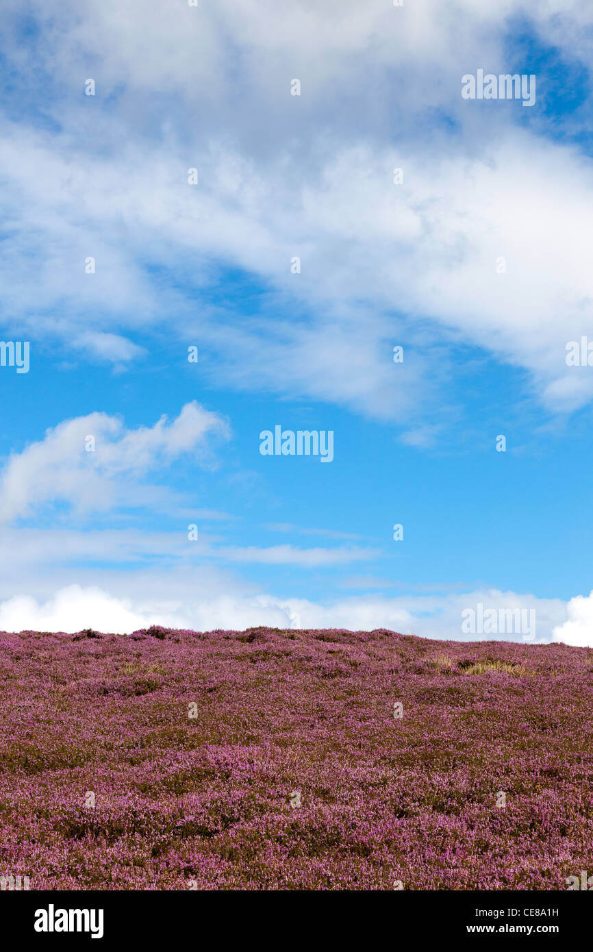 Purple heather near Kinder Scout Derbyshire - Stock Image