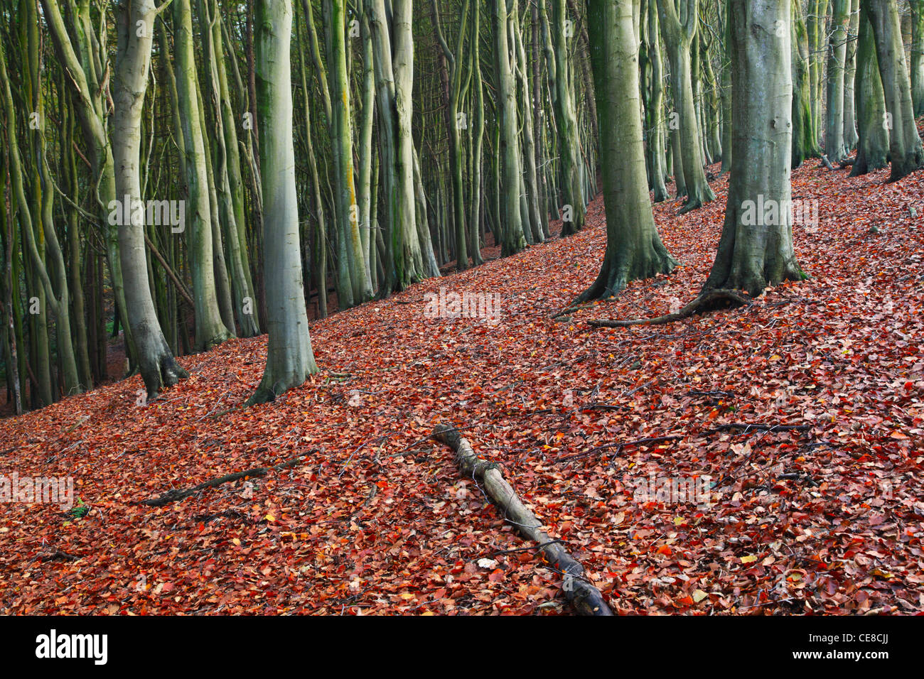 Leaf litter in dense Beech Woodland. Priors Wood. Somerset. England. UK. - Stock Image