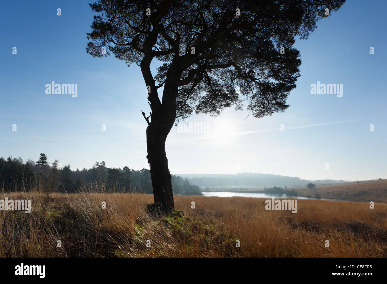 Lone Pine Tree on North Hill in The Mendip Hills. Somerset. England. UK. - Stock Image