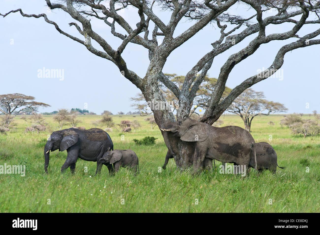 Elephant group Loxodonta africana at Seronera in Serengeti, Tanzania - Stock Image