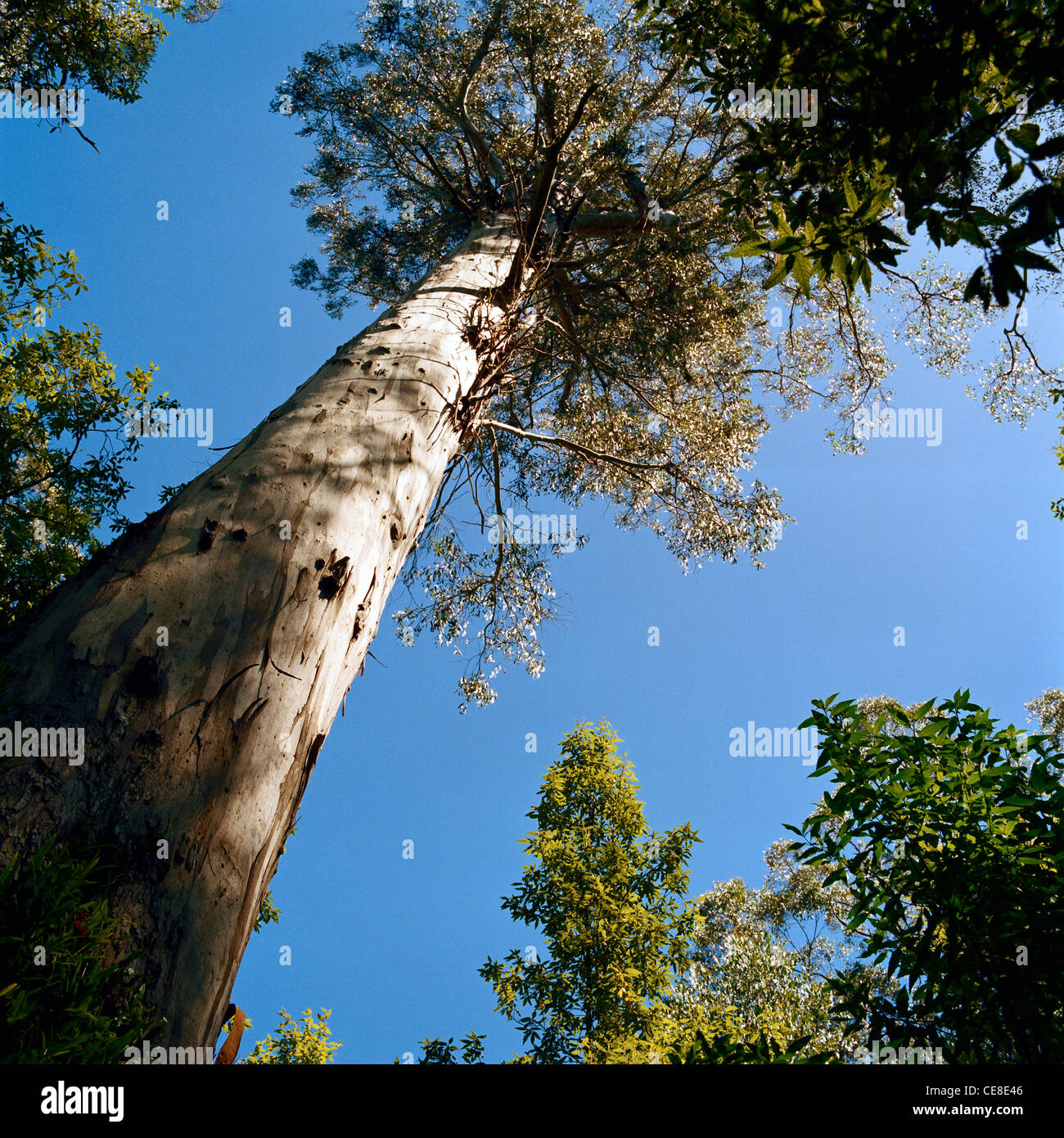 Mountain ash Eucalyptus regnans Dandenong Rainforest Victoria Australia - Stock Image