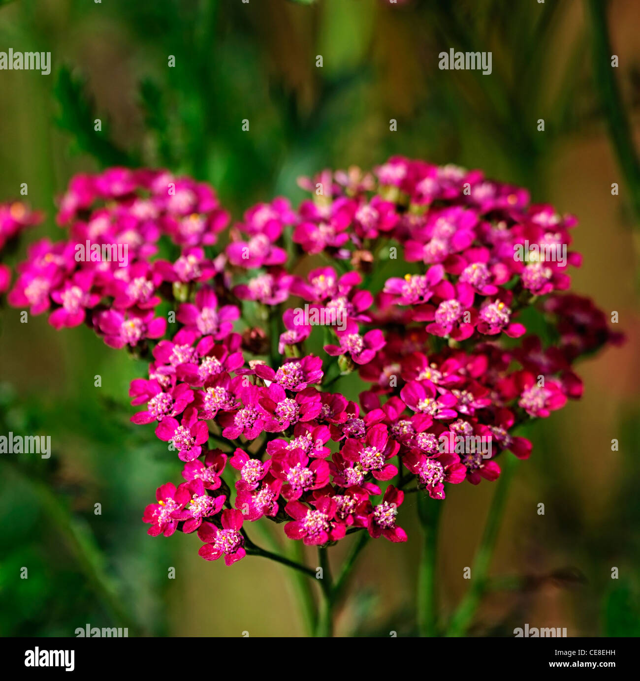 Cerise Pink Flowers Stock Photos Cerise Pink Flowers Stock Images