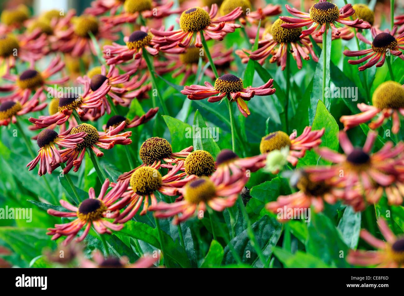 Helenium Loysder Wieck Orange Red Flowers Perennials Sneezeweeds