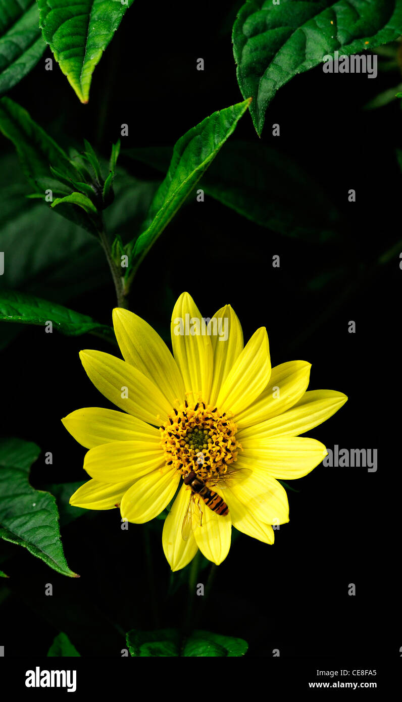 helianthus lemon queen with hoverfly feed feeding on nectar sunflowers sunflower flower bloom blossom attractant - Stock Image
