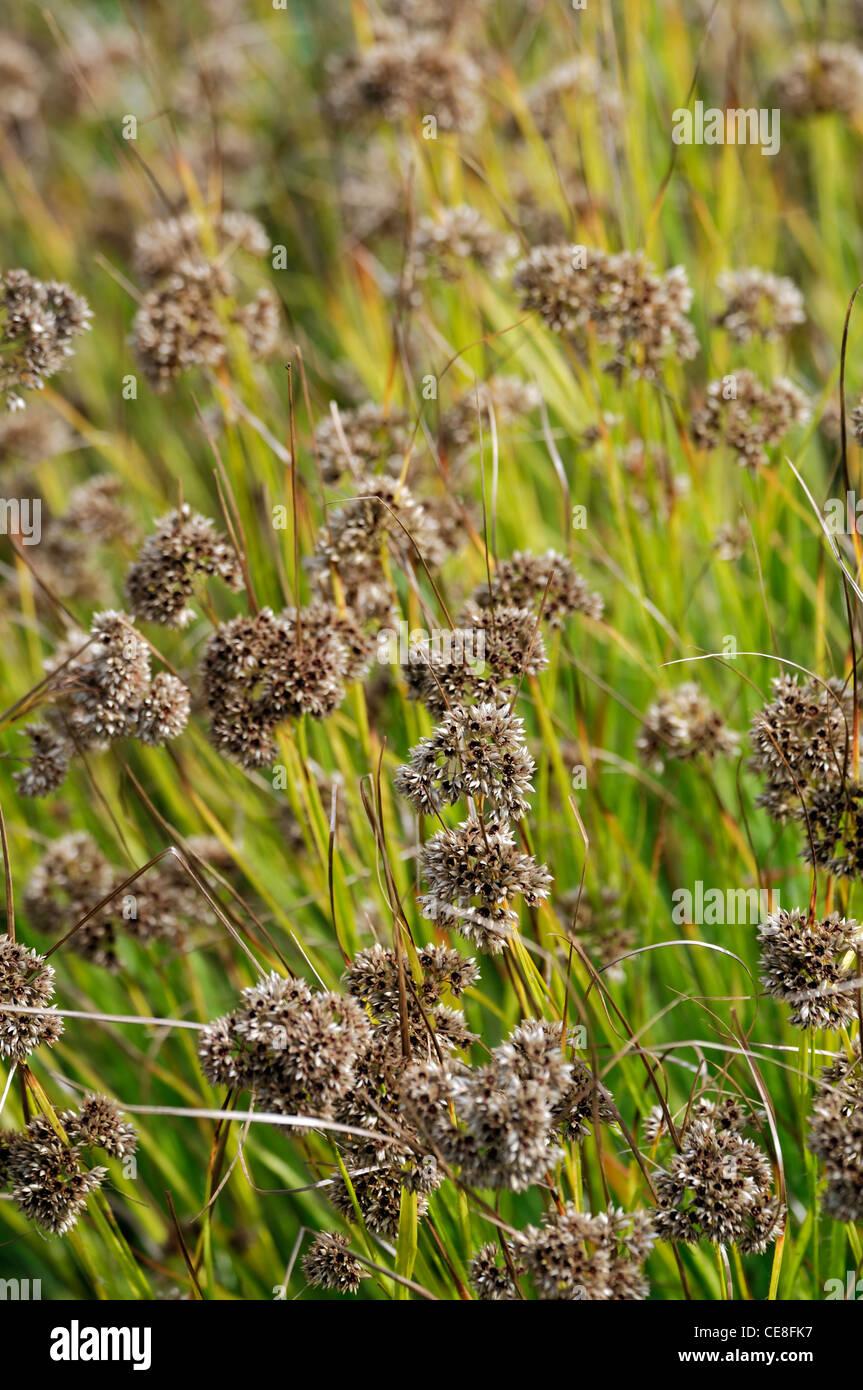uzula nivea snowy woodrush selective focus seedhead seedheads pods perennials plant portraits nivea - Stock Image