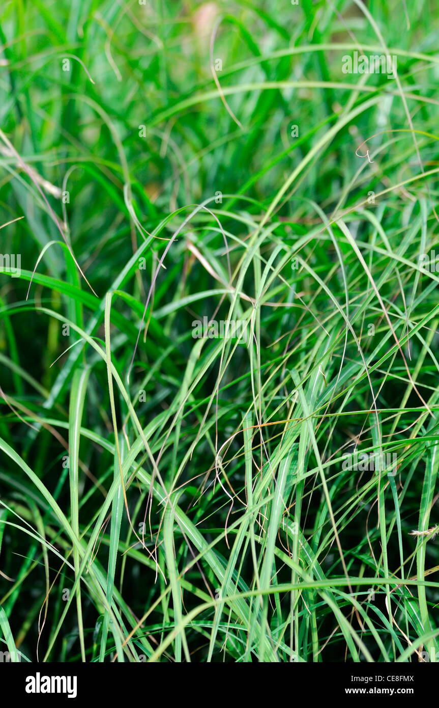 Miscanthus sinensis stock photos miscanthus sinensis stock images miscanthus sinensis adagio maiden grass chinese silver grass ornamental grasses foliage green stock image workwithnaturefo
