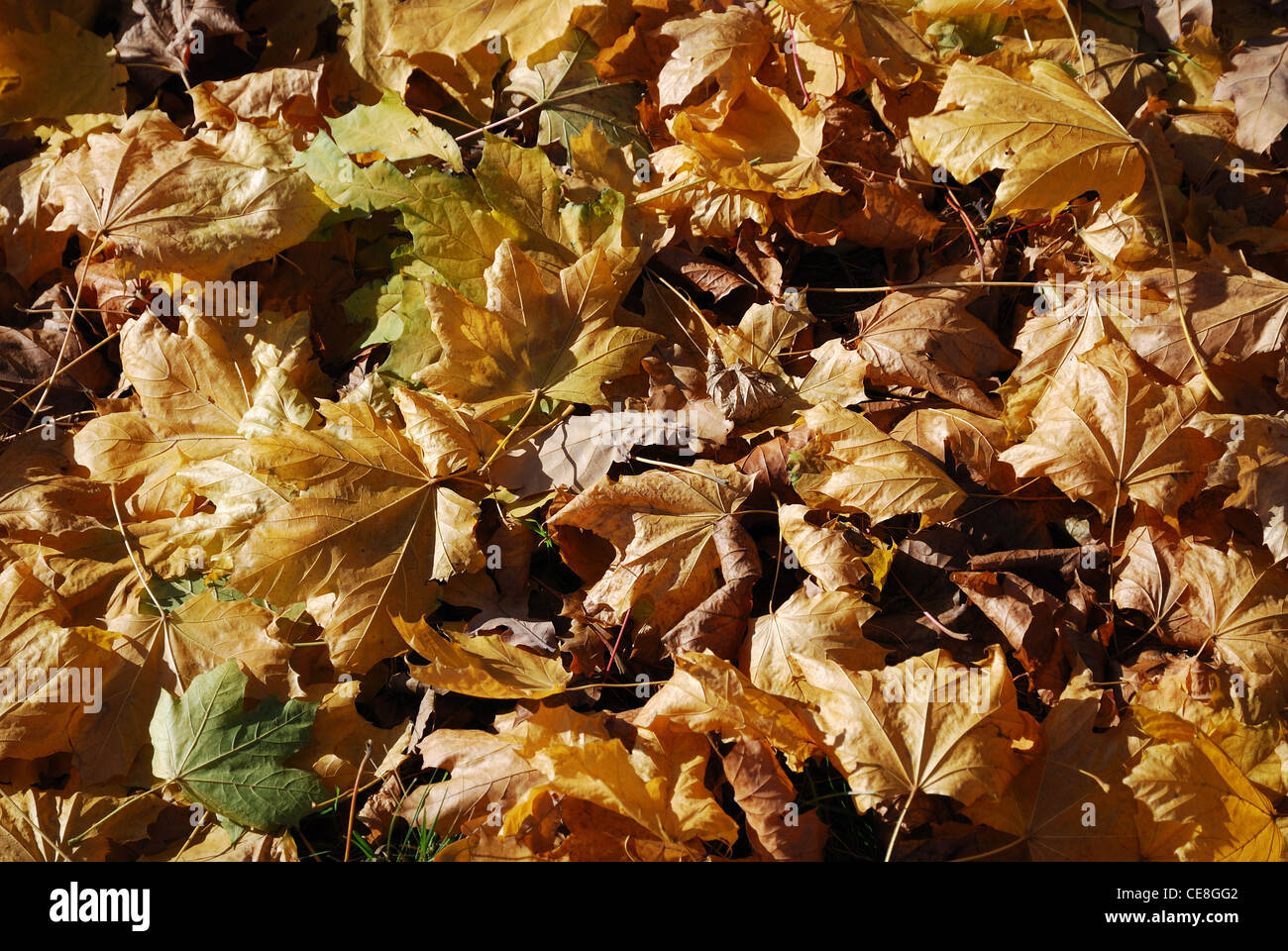 Dry maple leaves are lying on the ground. They are illuminated with the autumnal sun. - Stock Image