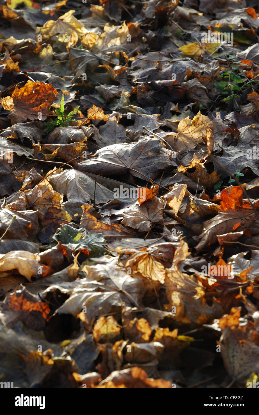 Autumnal backgrounds of dead leaves. - Stock Image