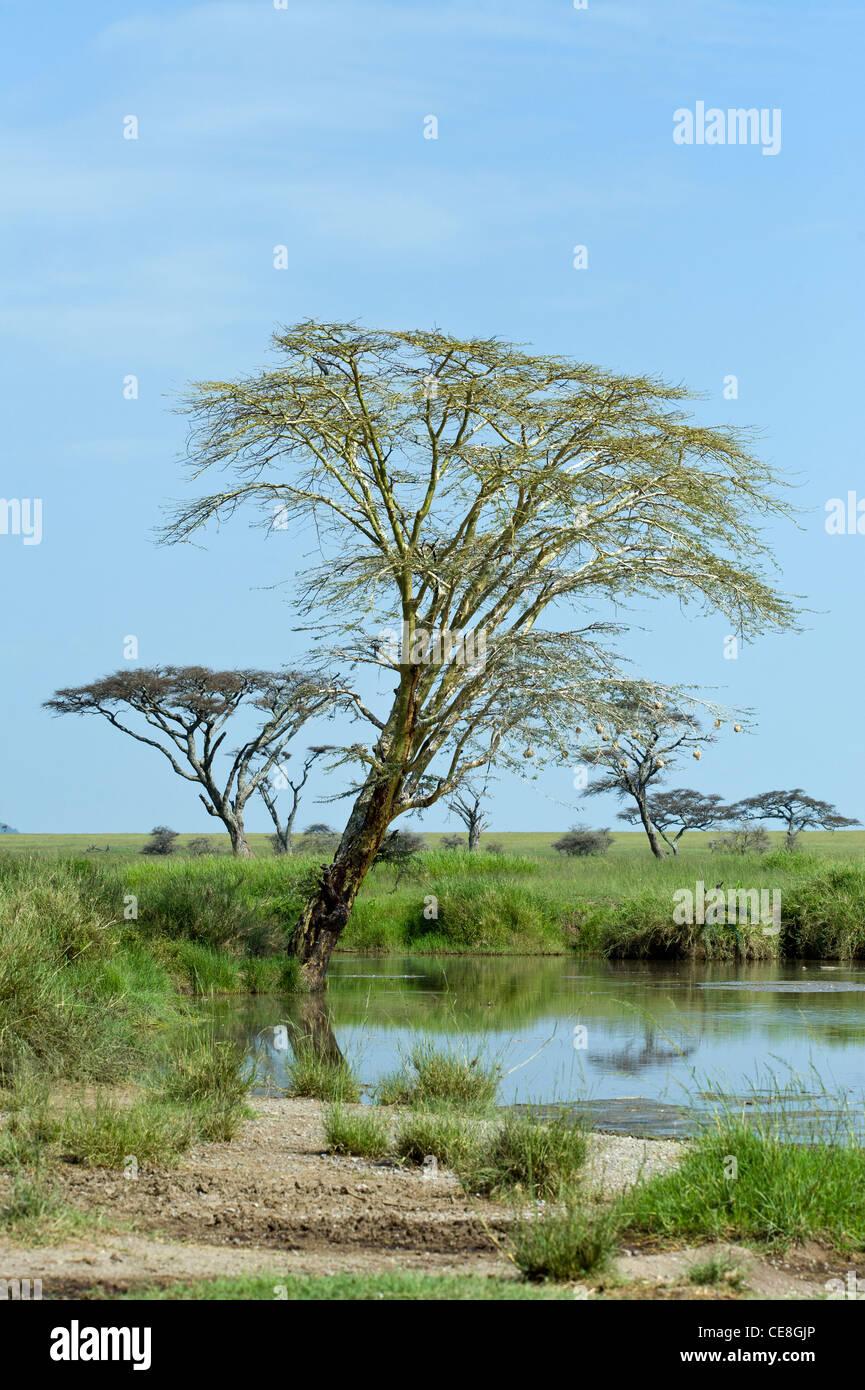Yellow barked Acacia tree (Acacia xanthophloea) at a pond at Seronera in Serengeti Tanzania - Stock Image