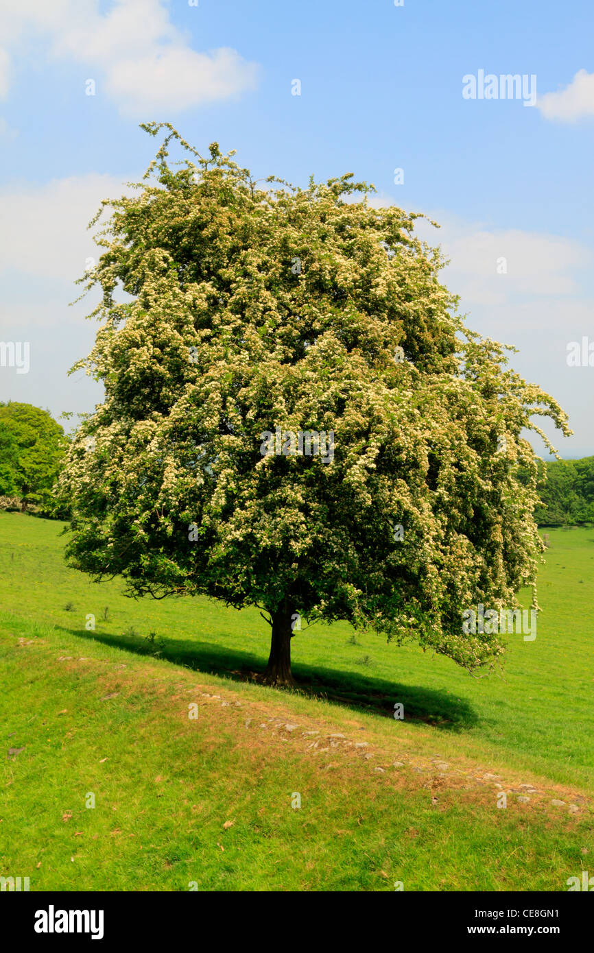 A Hawthorn Tree in full blossom - Stock Image
