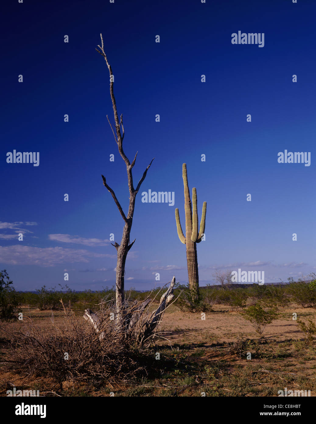 ARIZONA - Saguaro cactus grow in shade then kill their benefactor when no longer needed. Cabeza Prieta Game Range. - Stock Image