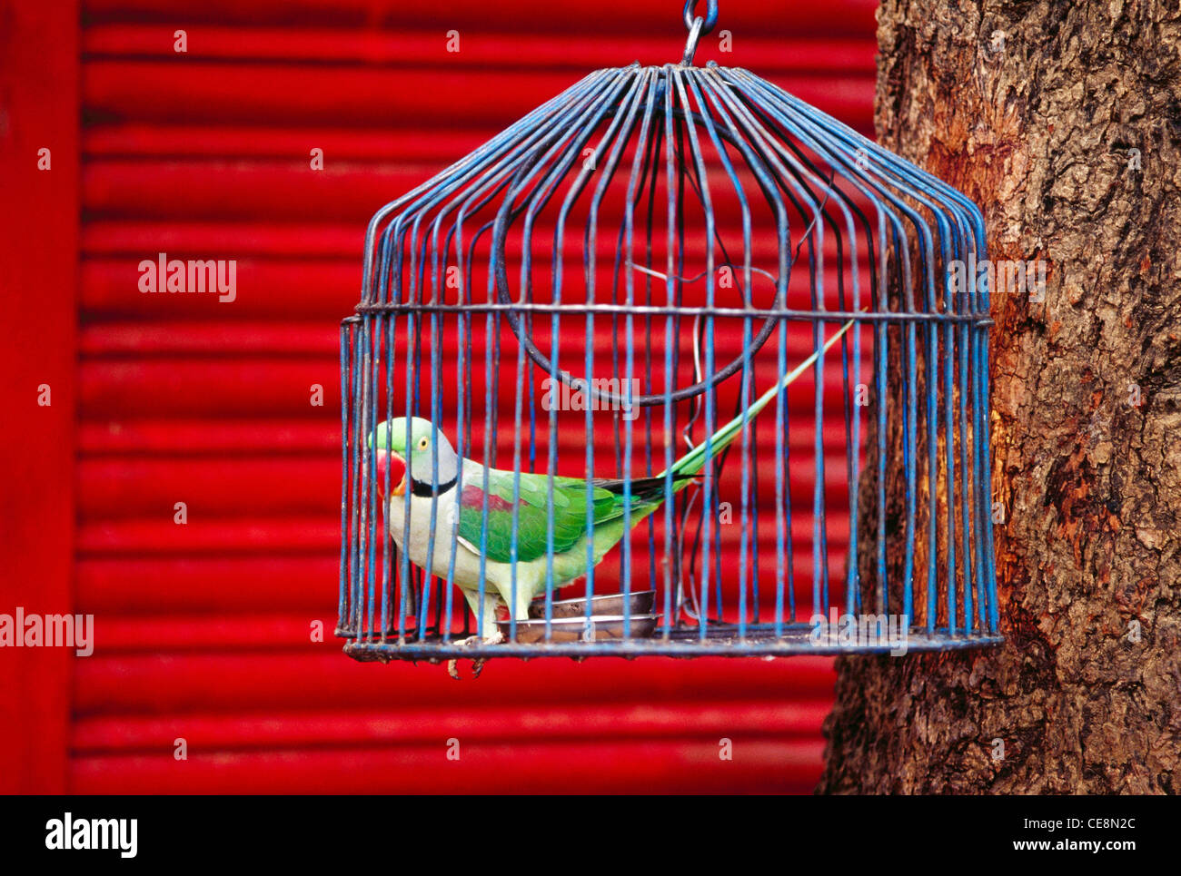 AAD 80051 : indian Bird Parrot In Cage Bandhavgarh national park Madhya Pradesh India Stock Photo