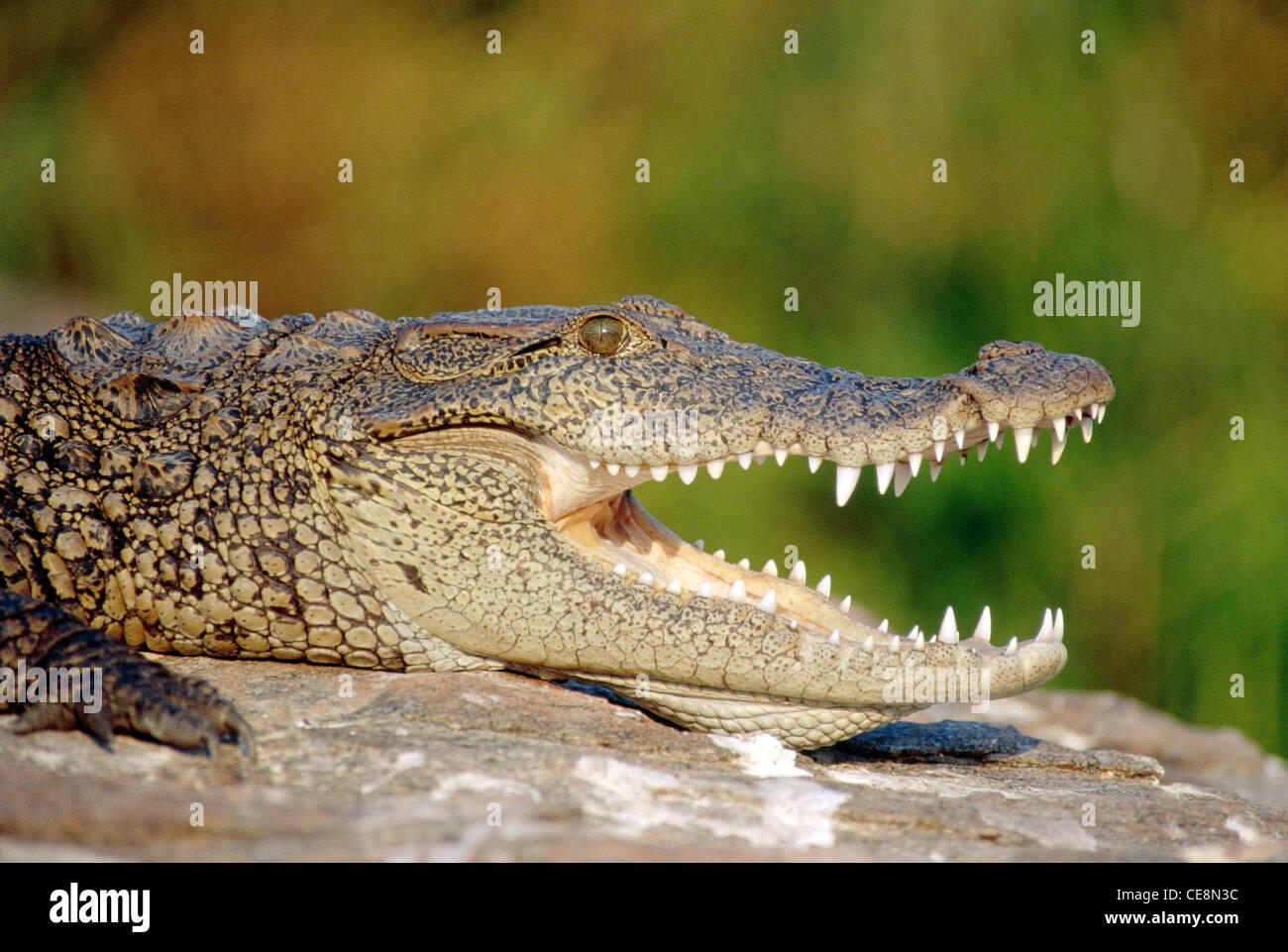 Crocodile Profi...