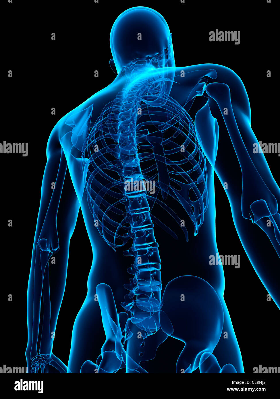Bone Structure Of The Upper Body Stock Photos Bone Structure Of