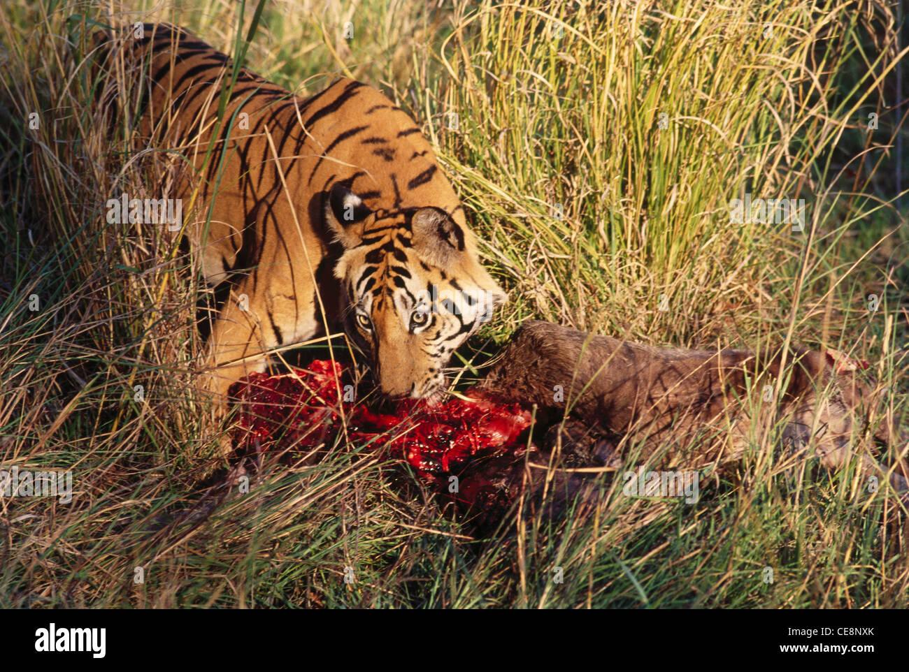 sna-80970-tiger-eating-prey-panthera-tig