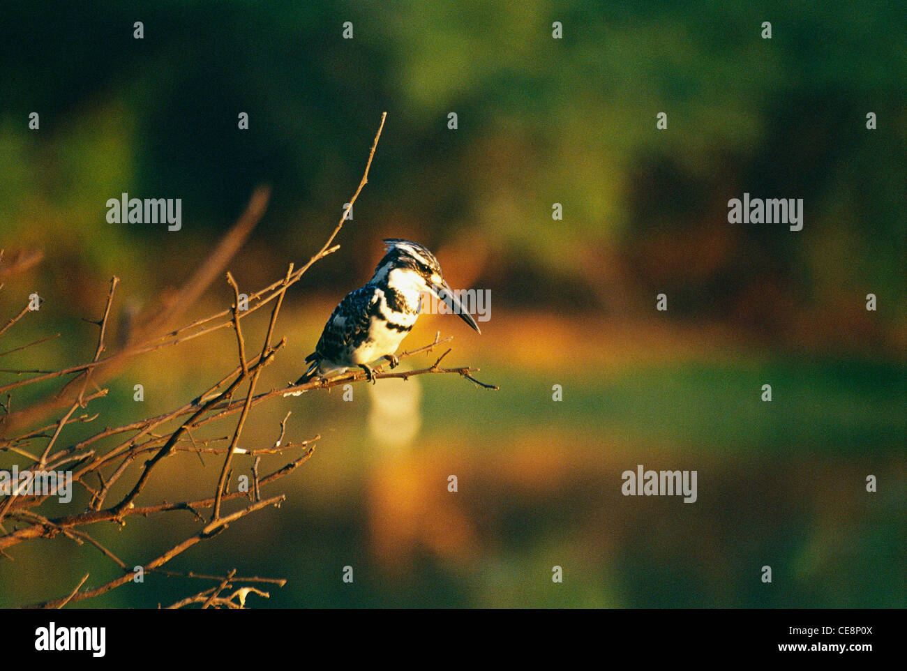UGA 80135 : Bird Pied Kingfisher ceryle Rudis , Bharatpur , Rajasthan , india - Stock Image