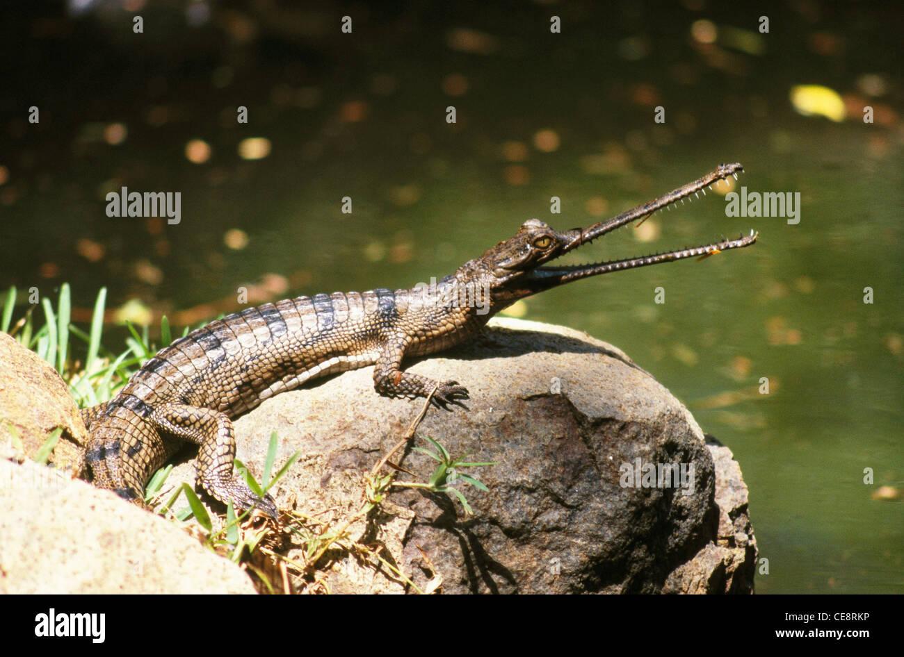 Endangered Gharial   Crocodile   Gavialis gangeticus - Stock Image
