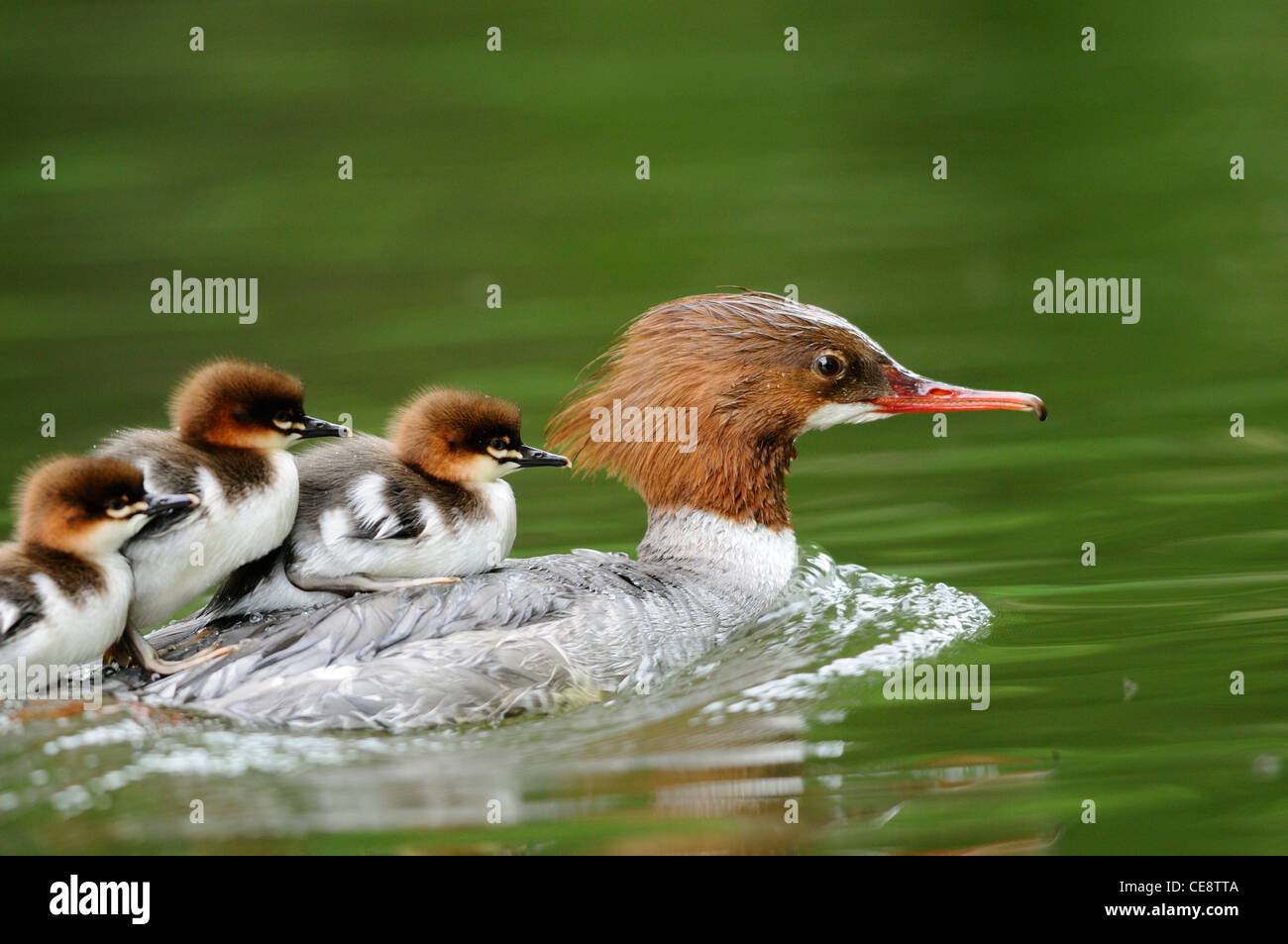 Mergus merganser chicks on back of mother - Stock Image