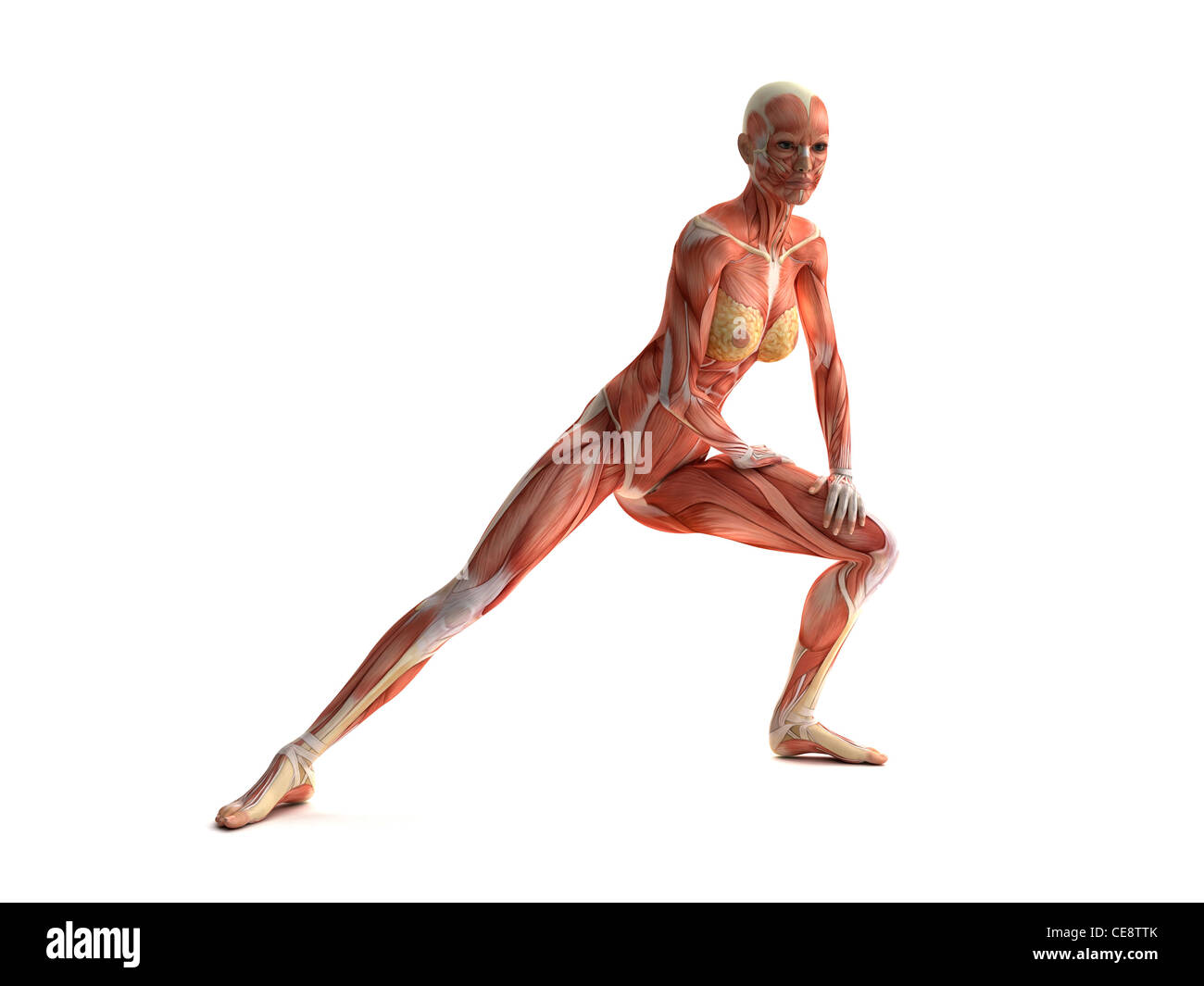 Female muscles, computer artwork. - Stock Image