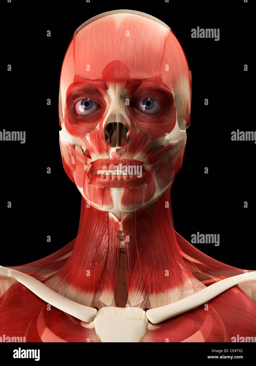 Muscles of the head and neck, computer artwork. - Stock Image