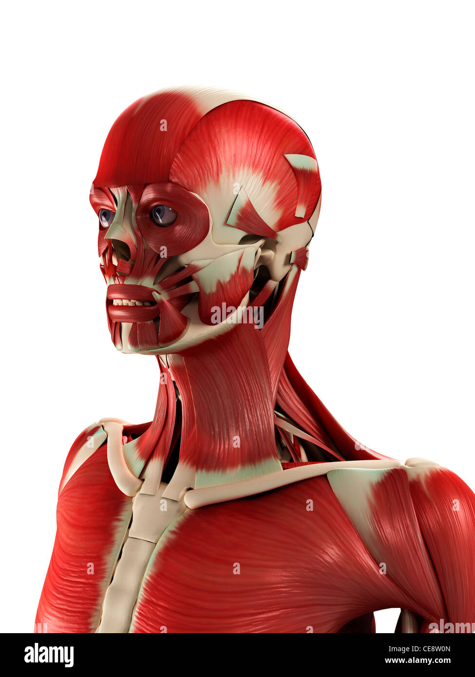 Male muscles, computer artwork. - Stock Image