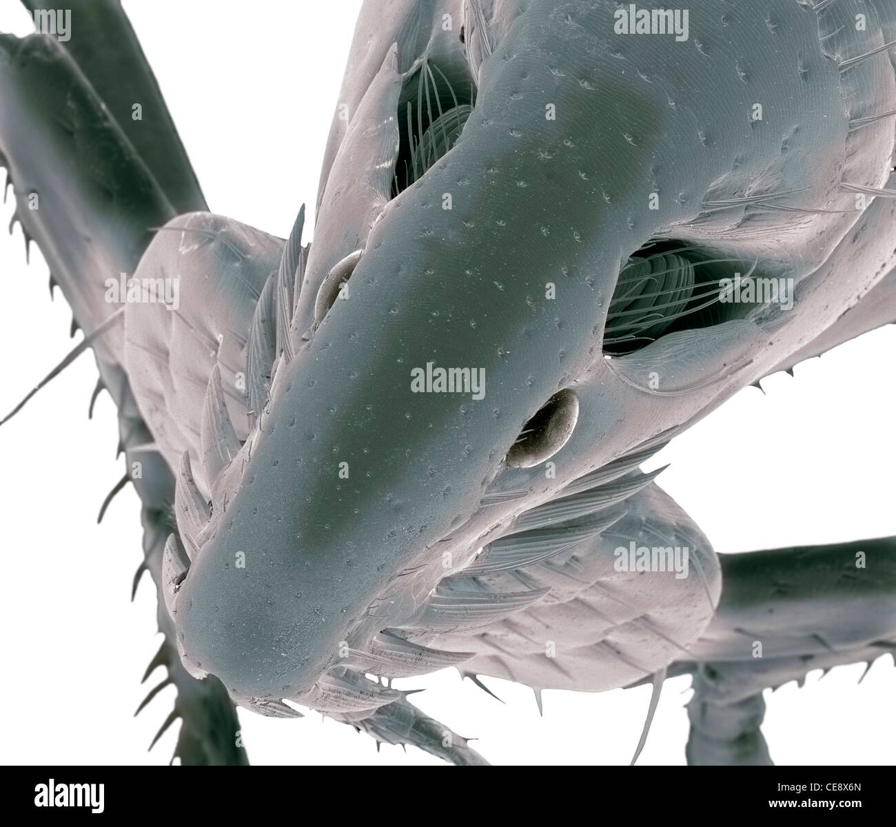 Cat flea Coloured scanning electron micrograph SEM head cat flea Ctenocephalides felis Magnification x130 when printed - Stock Image
