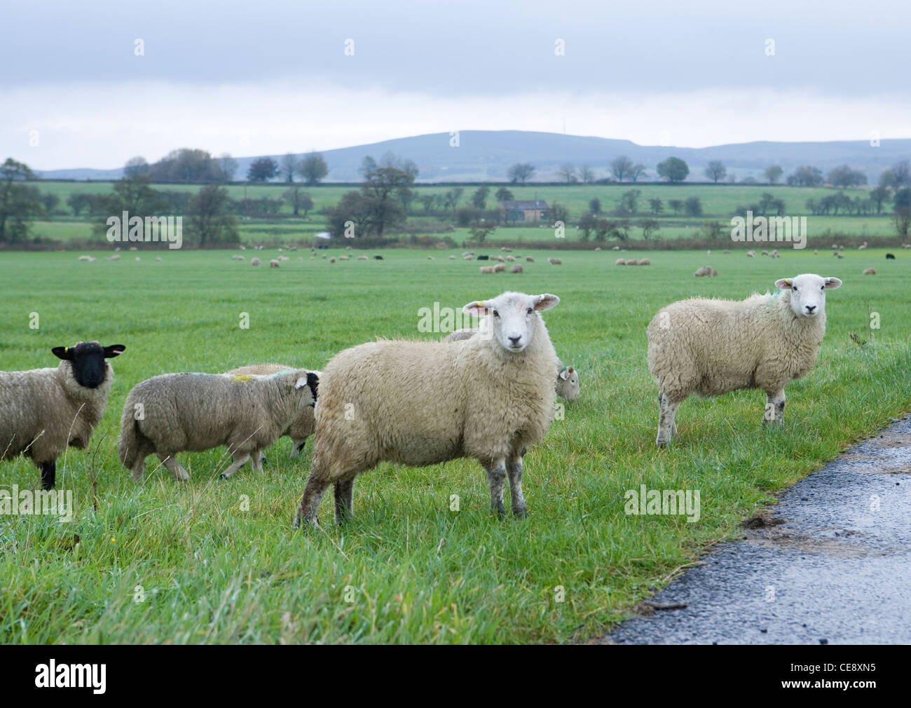 Sheep Group of adults standing in rain Clitheroe, UK - Stock Image