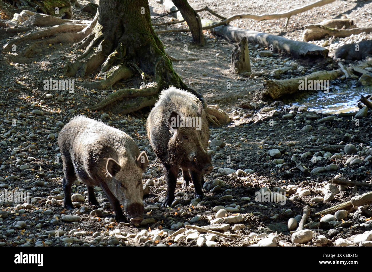 Couple of wild boars in forest, Isère, France - Stock Image