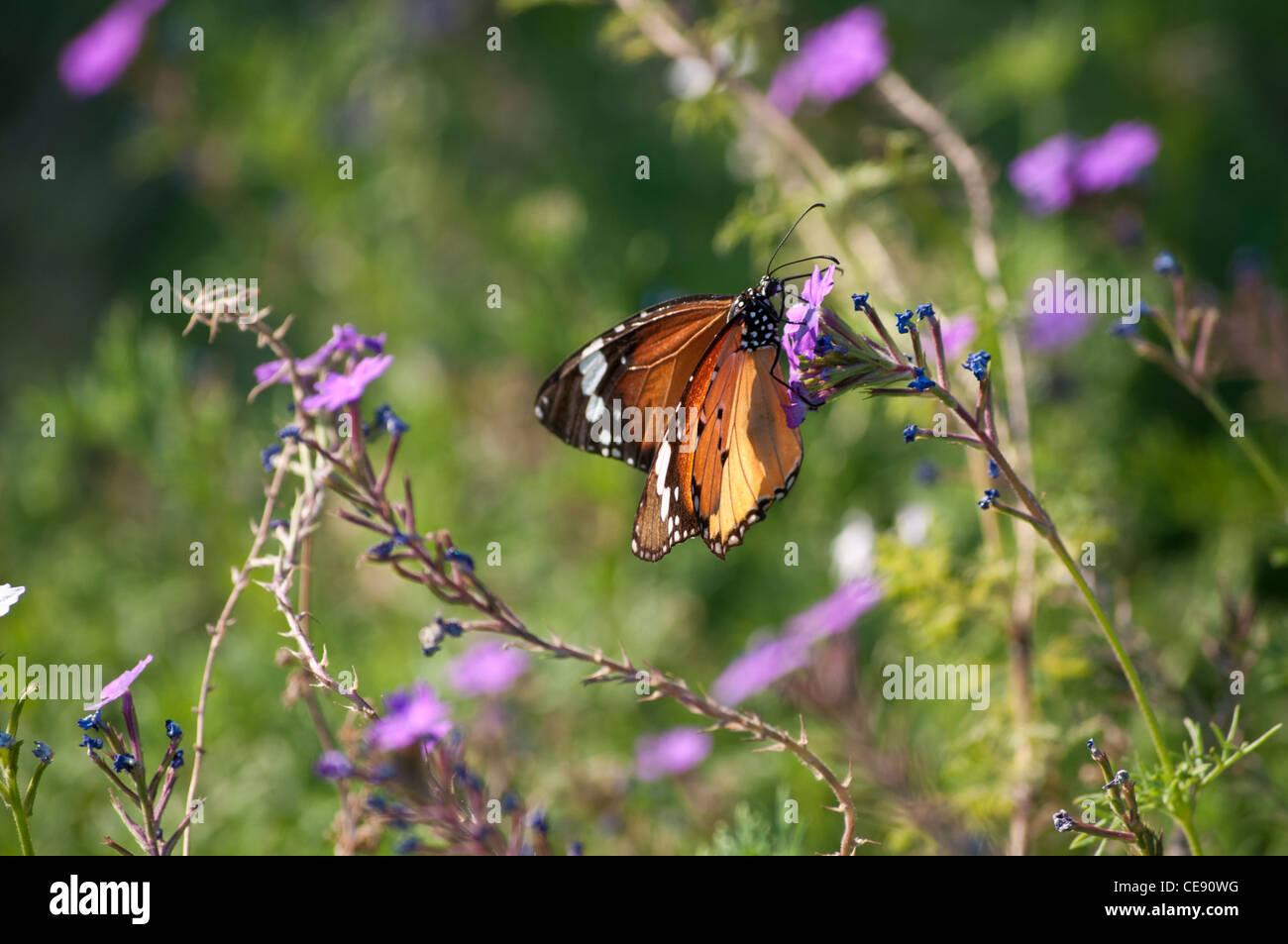Monarch butterfly, Danaus plexippus, feeding on a purple flower, Rishikesh, Uttarakhand, India - Stock Image