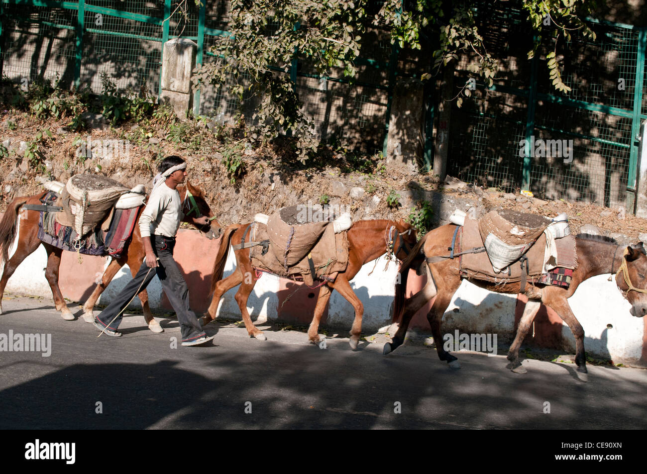 Man guiding horses who carry earth and stones from the riverbed of the Ganges for building sites, Rishikesh, Uttarakhand, - Stock Image