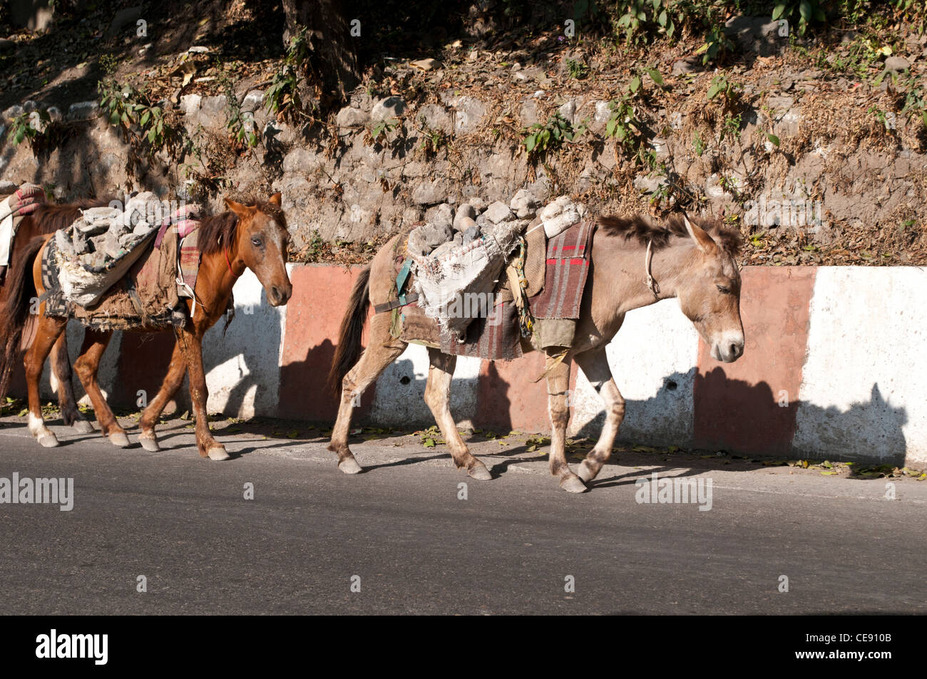 Poor horses carry stones from the riverbed of the Ganges for building sites, Rishikesh, Uttarakhand, India - Stock Image