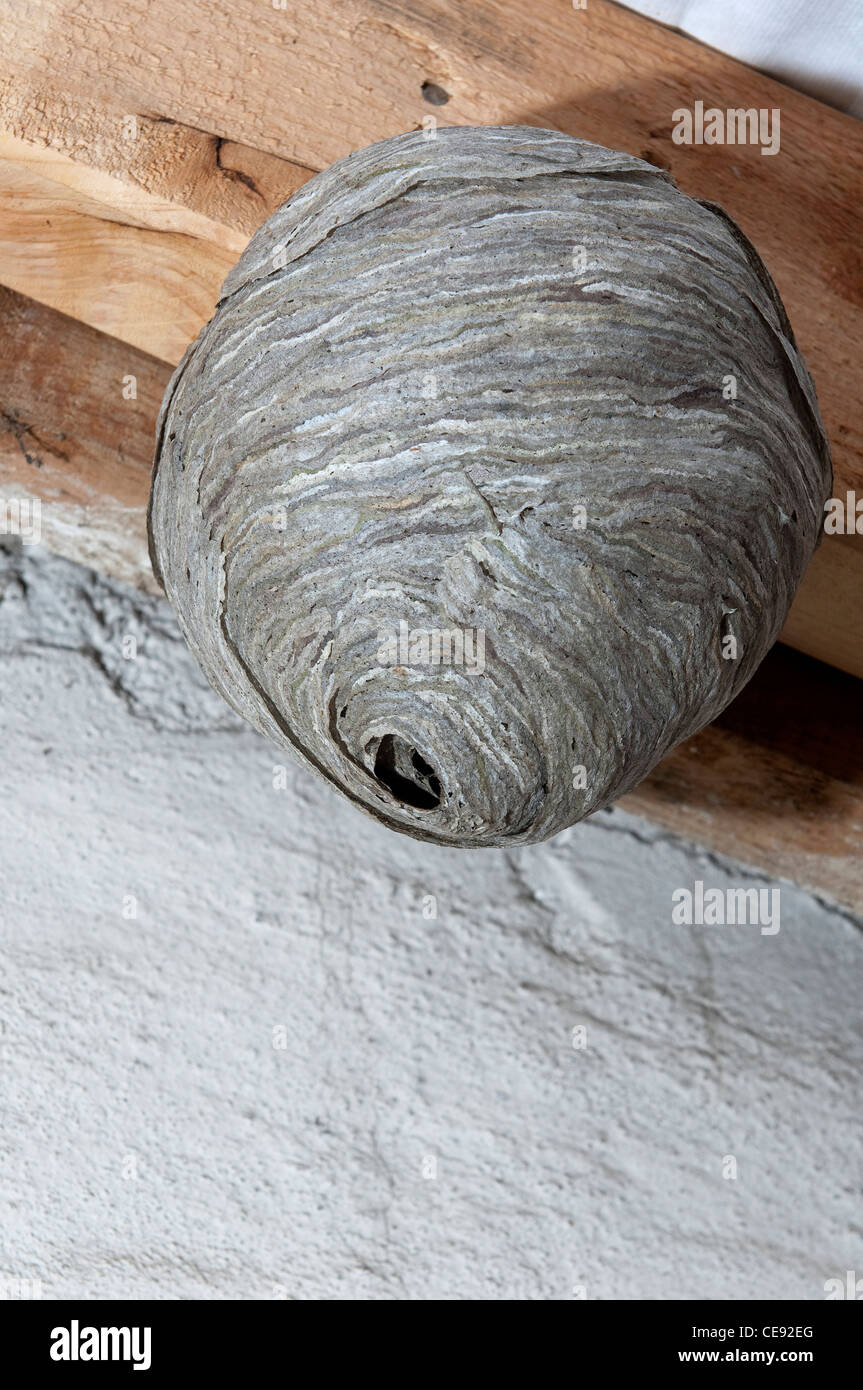 Common Wasp (Vespula vulgaris), nest in a loft. - Stock Image