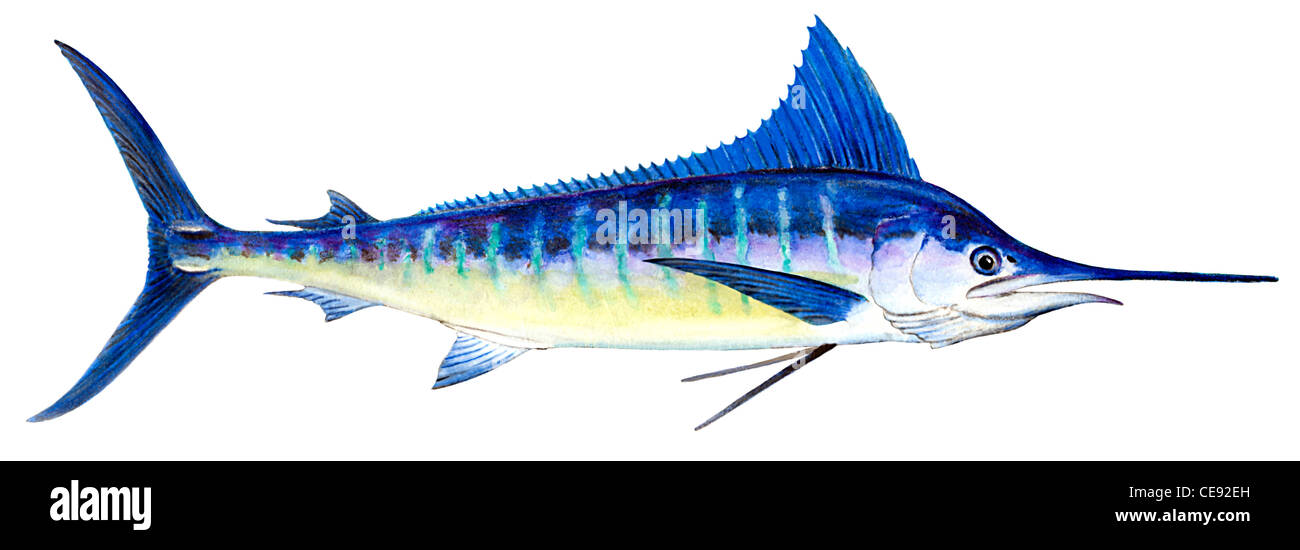 Striped Marlin (Tetrapturus audax), drawing. - Stock Image