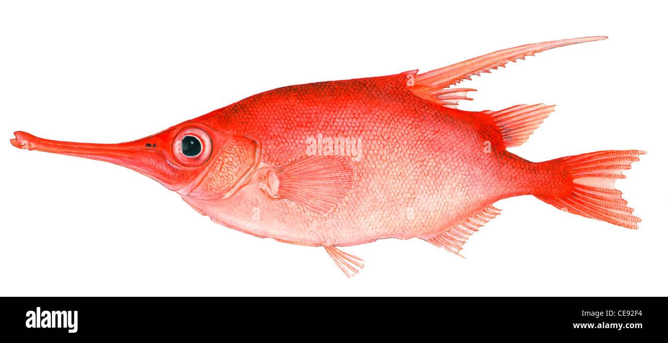 Longspine Snipefish (Macroramphosus scolopax), drawing. - Stock Image