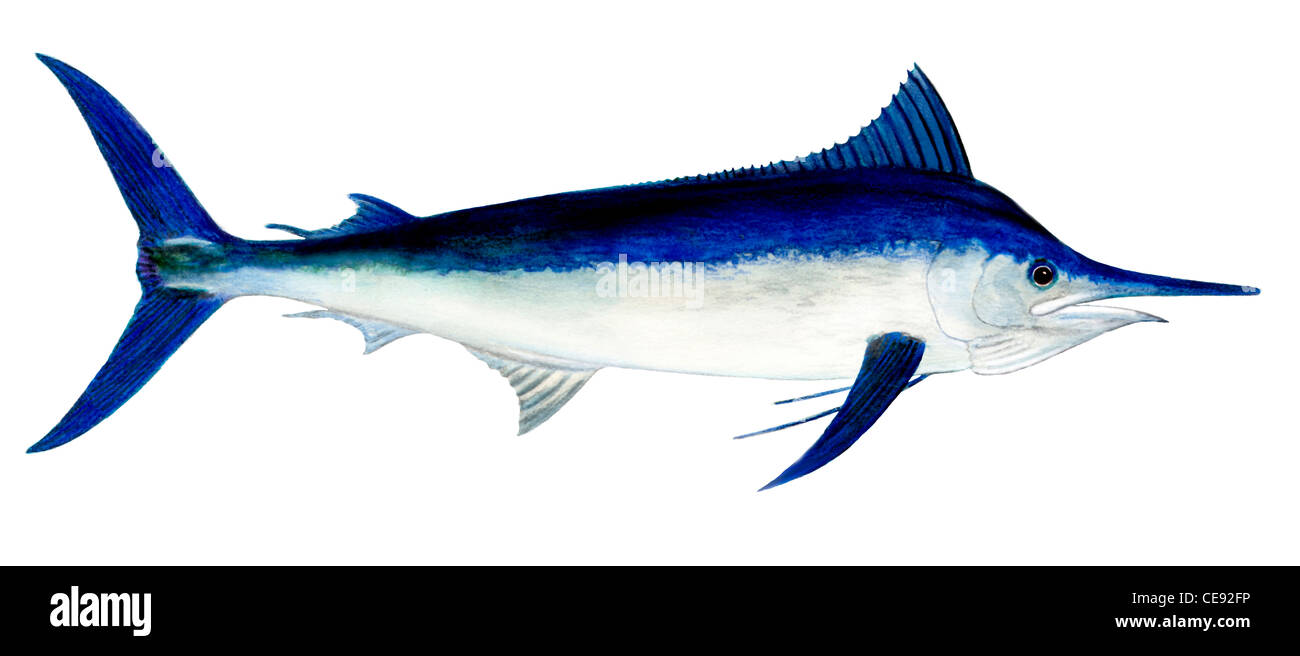 Black Marlin (Makaira indica), drawing. - Stock Image