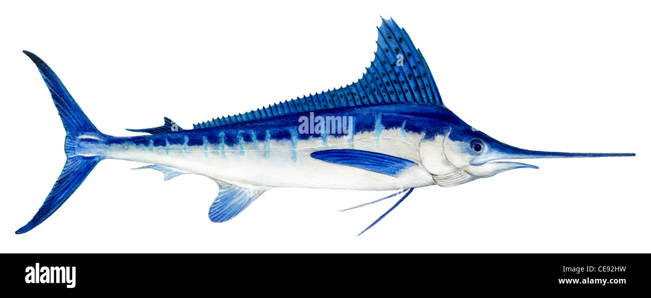 White Marlin (Tetrapturus albidus), drawing. - Stock Image