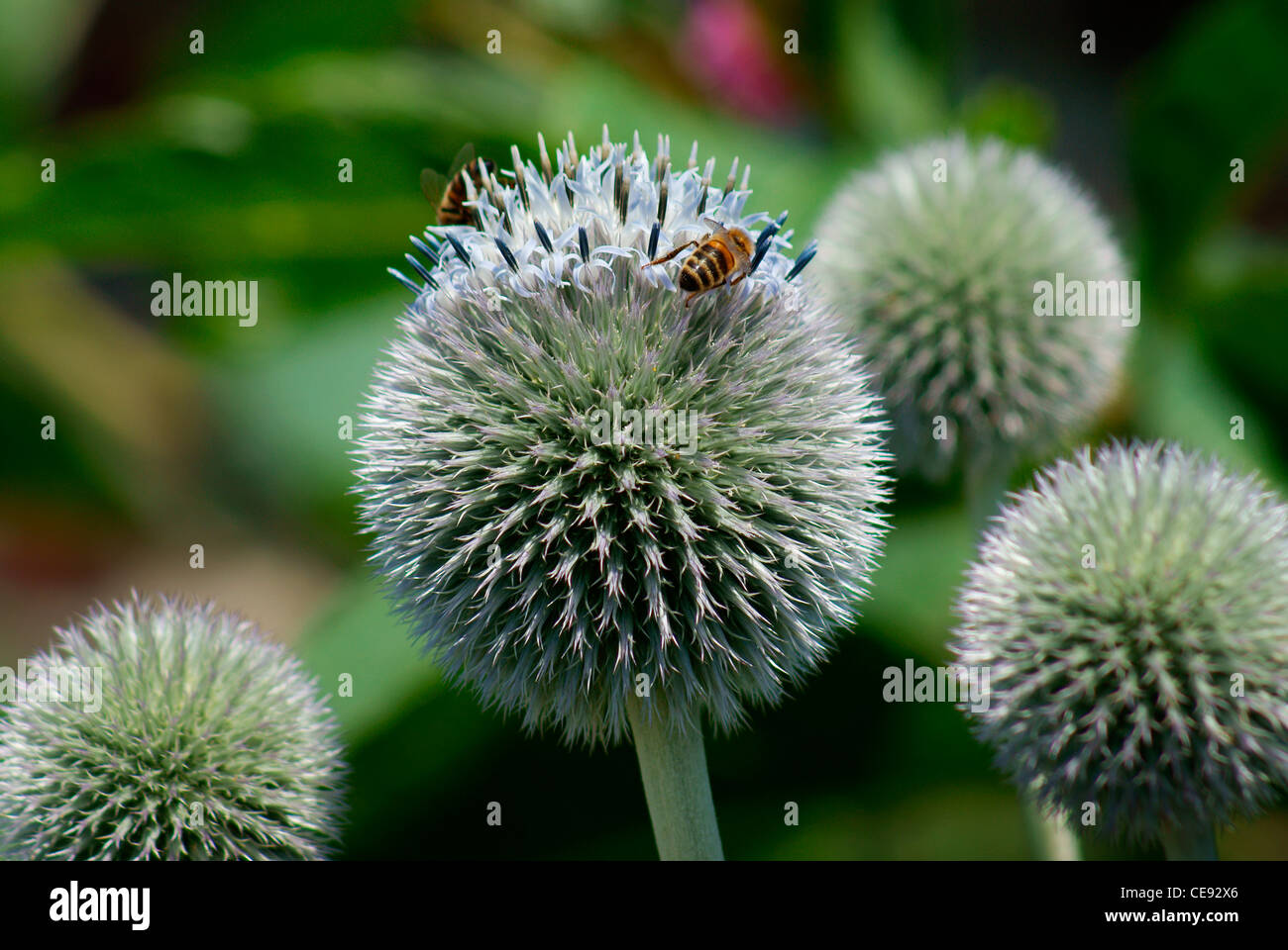 Blue Globe Thistle (Echinops ritro 'Veitch's Blue') with Honey Bees Feeding & Collecting Pollen - Stock Image