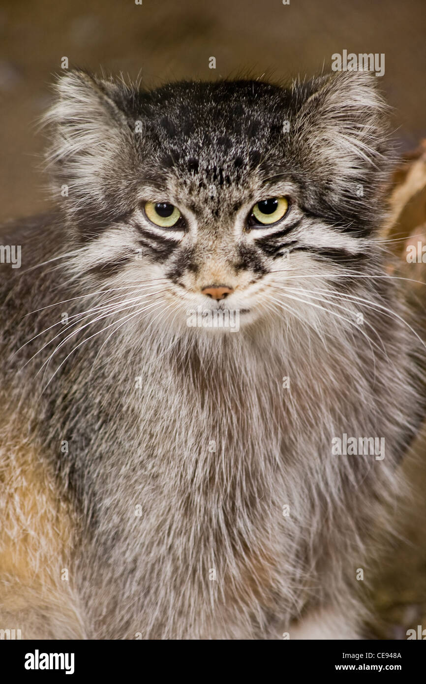 Manul, Pallascat or Felis otocolobus -  Solitair living undomesticated wild cat living in Central Asia and Mongolia. - Stock Image