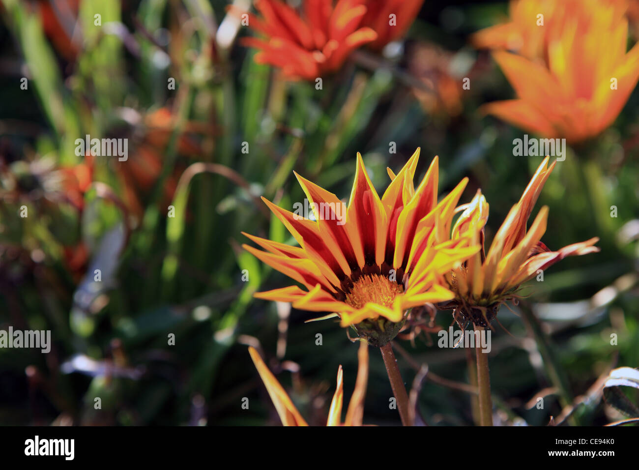 Colourful Asteraceae - Stock Image