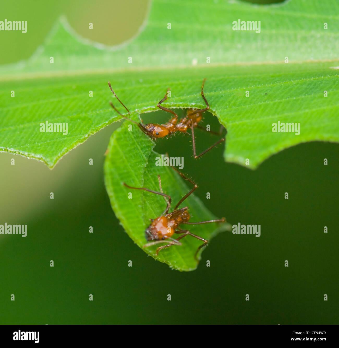 Leaf-Cutter Ant, Costa Rica Stock Photo