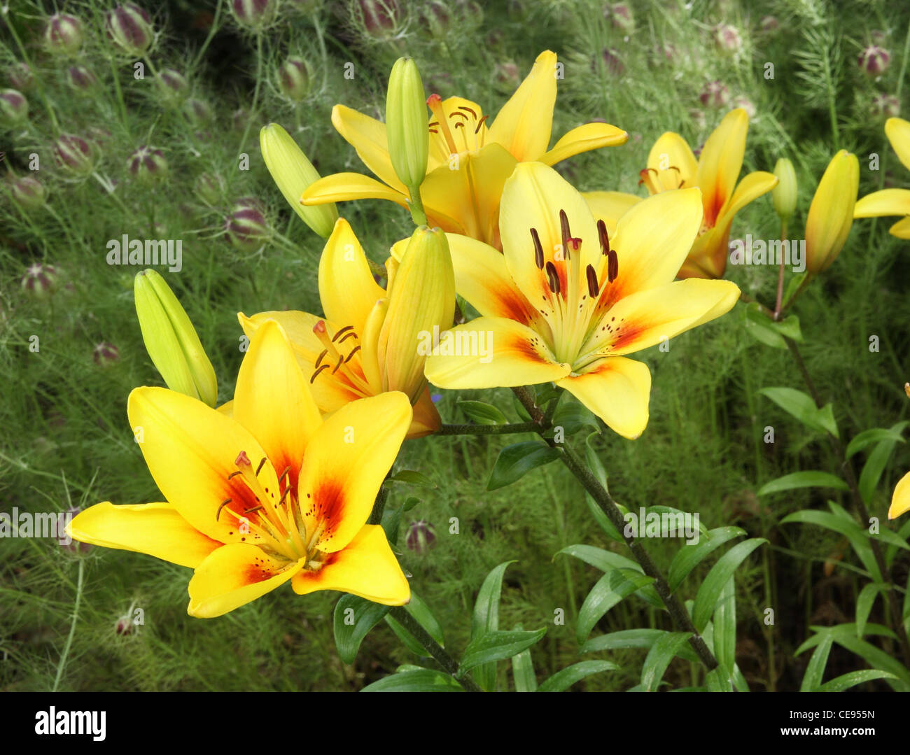 bright yellow asiatic lily flowers - Stock Image