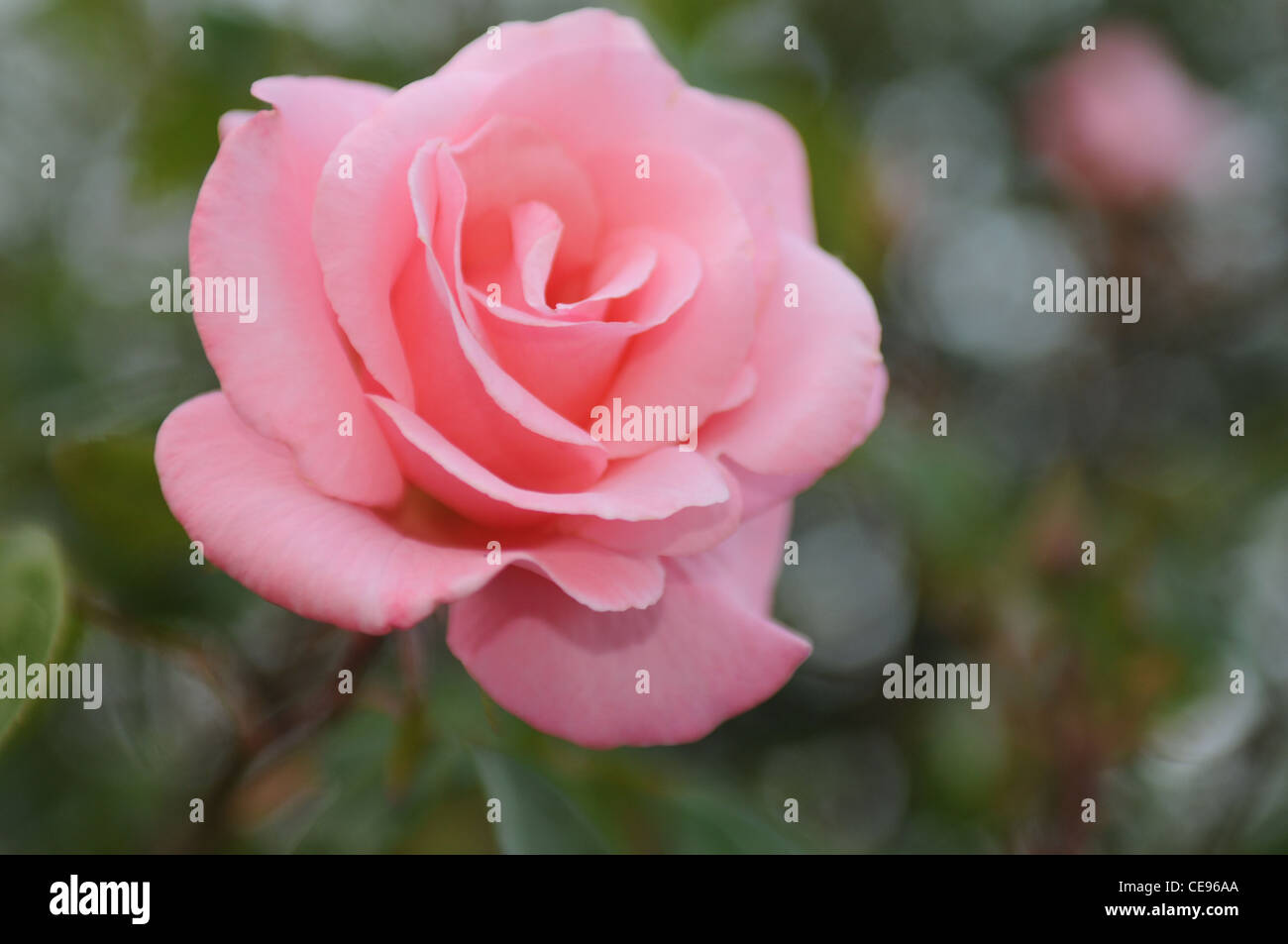 Low depth of field photograph of a flower - Stock Image