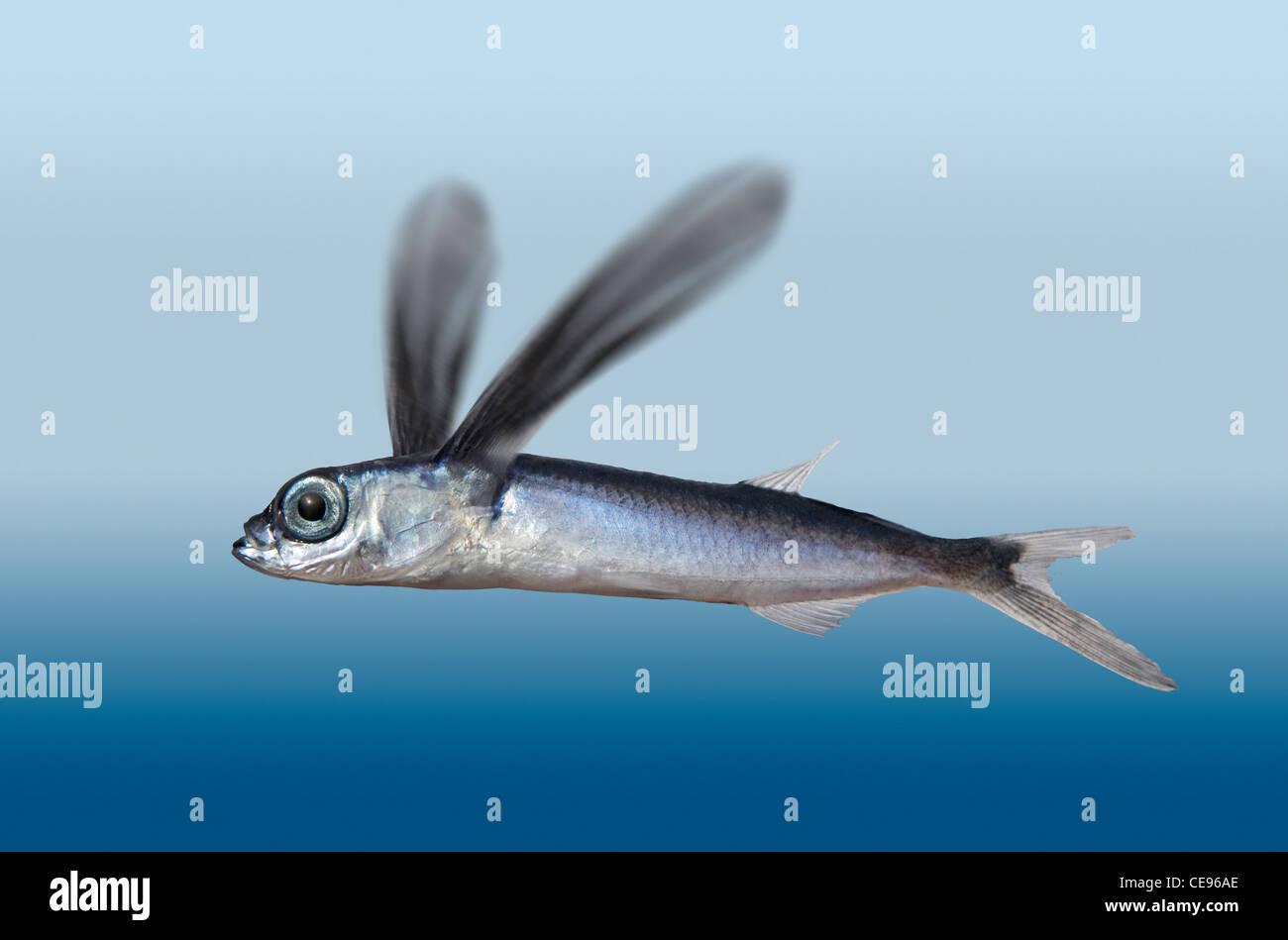 Flying Fish Stock Photo