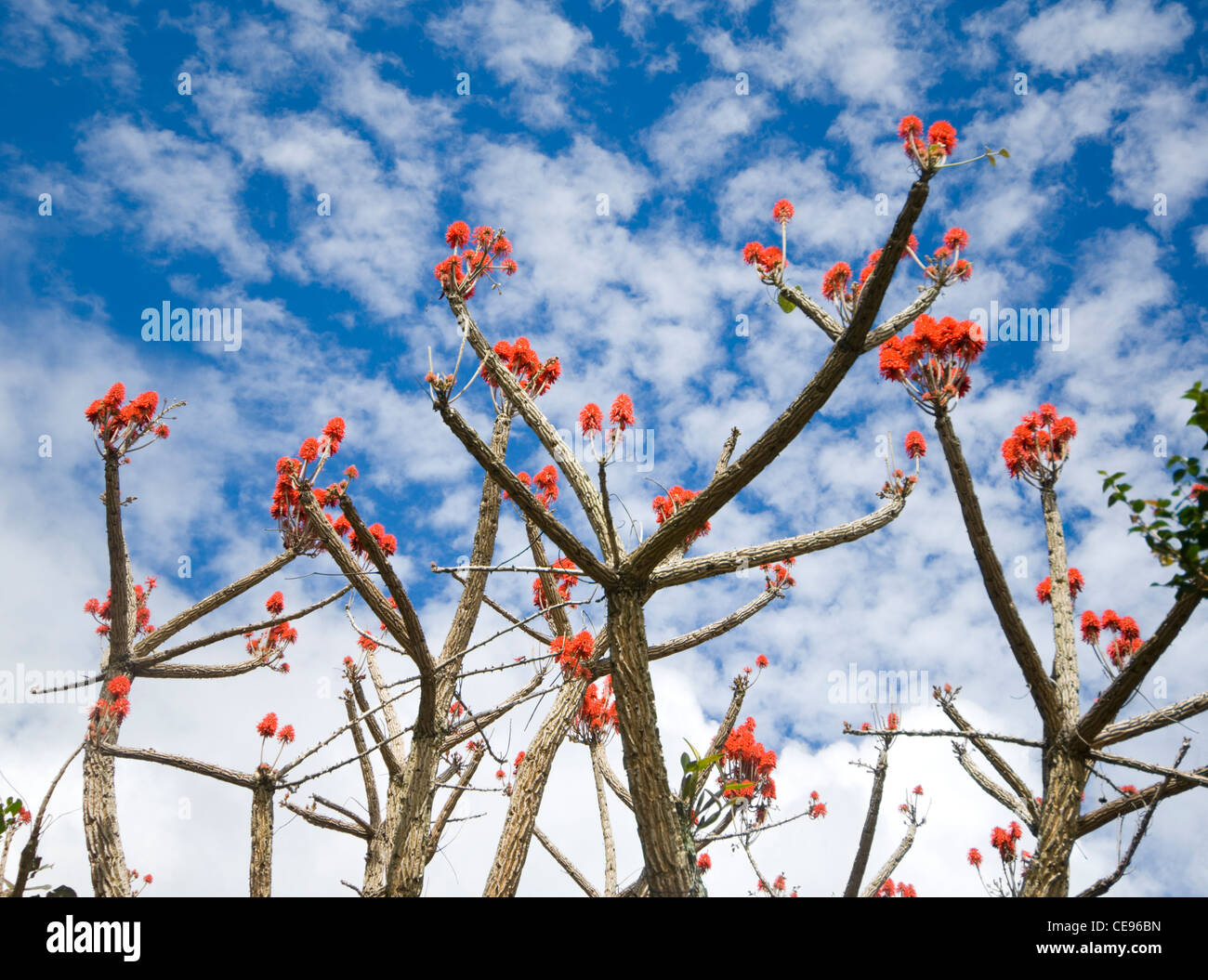 Leafless Tree with Red Flowers Costa Rica - Stock Image
