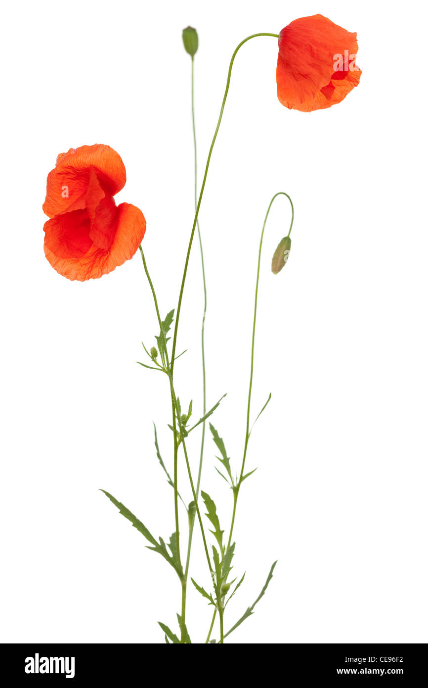 red poppy and poppy-head on white background - Stock Image