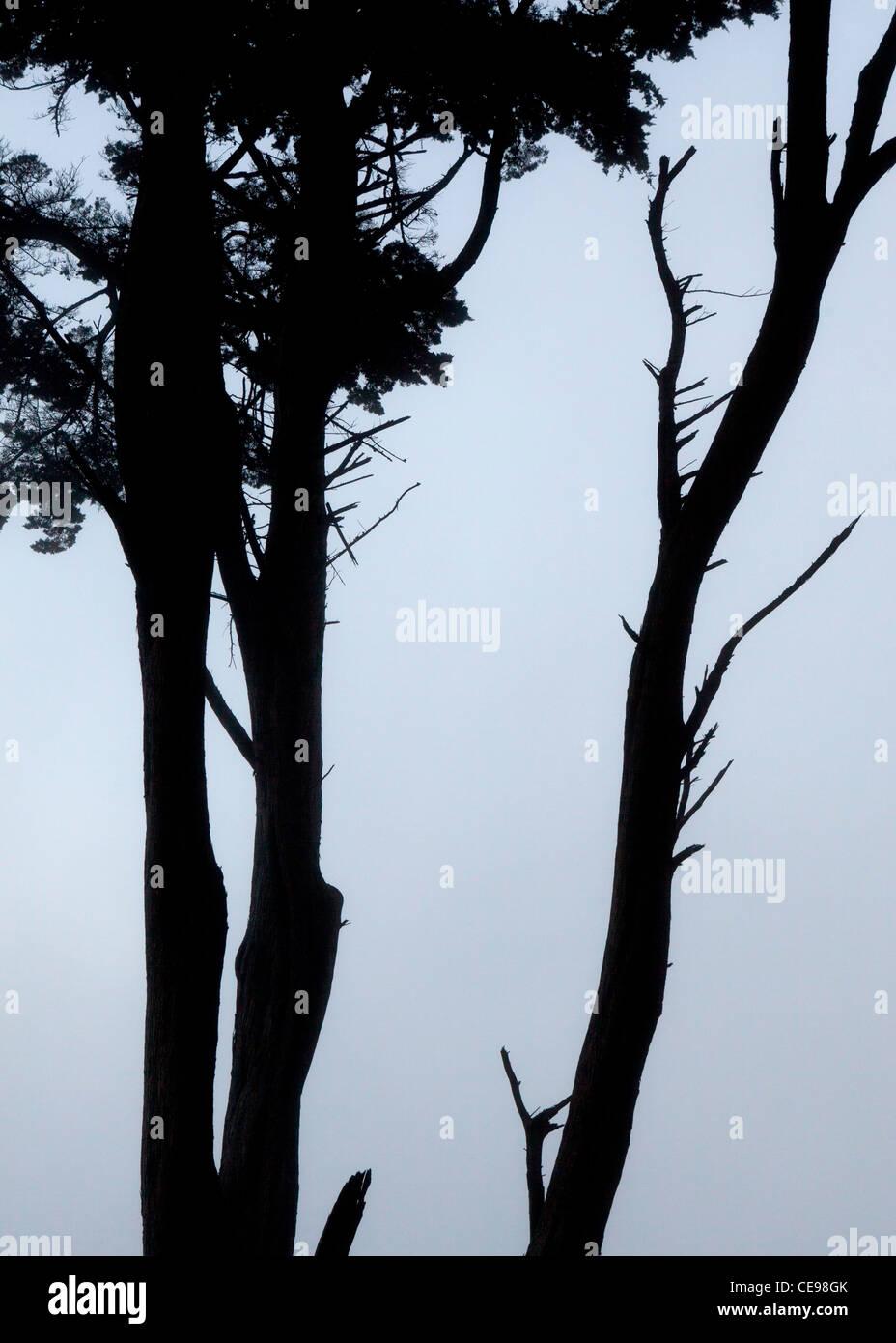 Silhouette of Eucalyptus tree Stock Photo