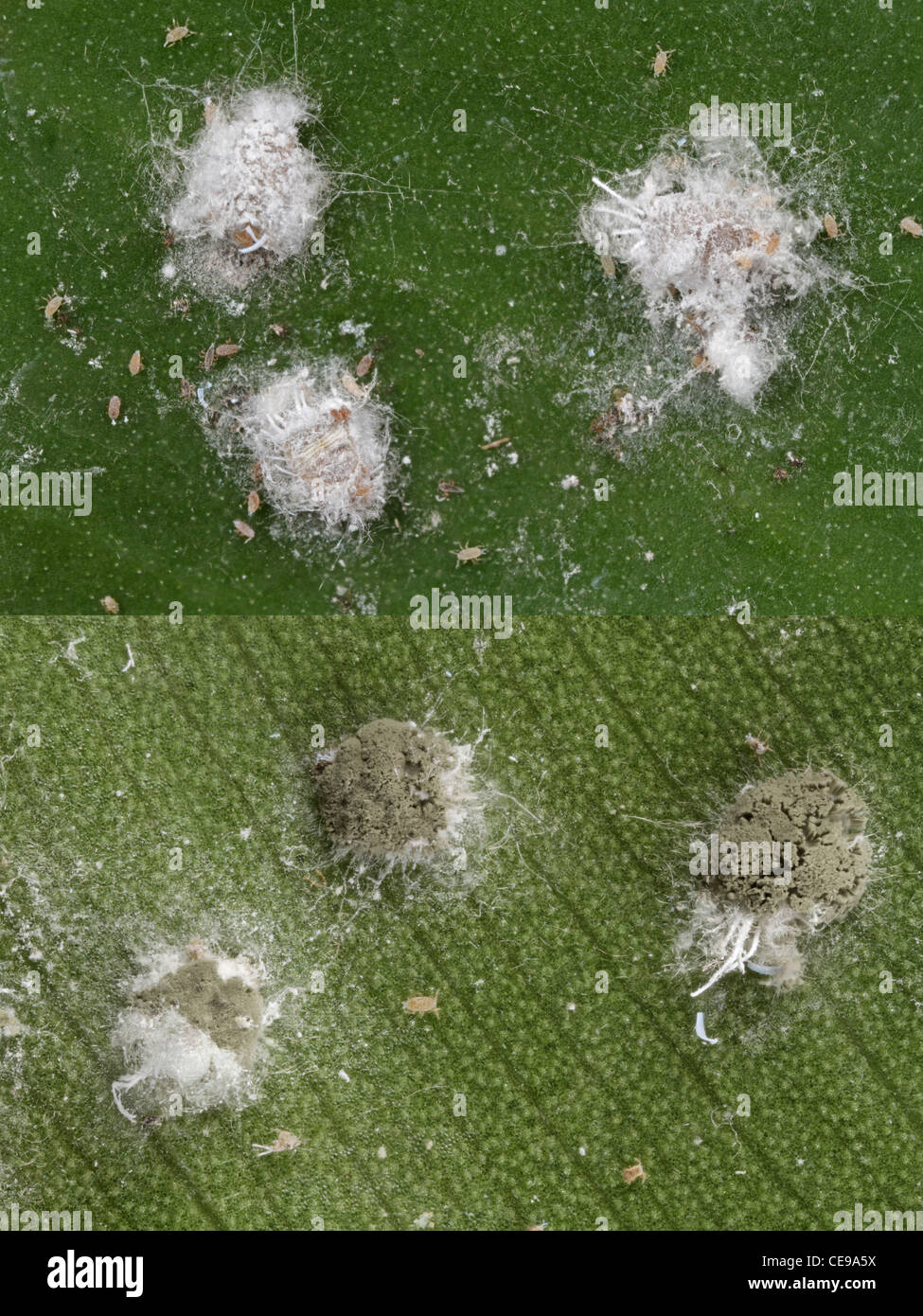 Healthy mealybugs (Pseudococcus longispinus) above, and mealybugs killed by a pathogenic fungus (Metarhizium anisopliae) - Stock Image