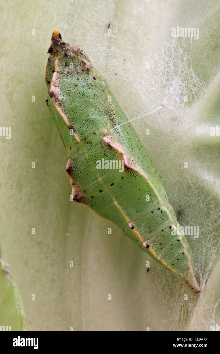 Chrysalis of a cabbage white butterfly (Pieris rapae) on a cabbage. - Stock Image